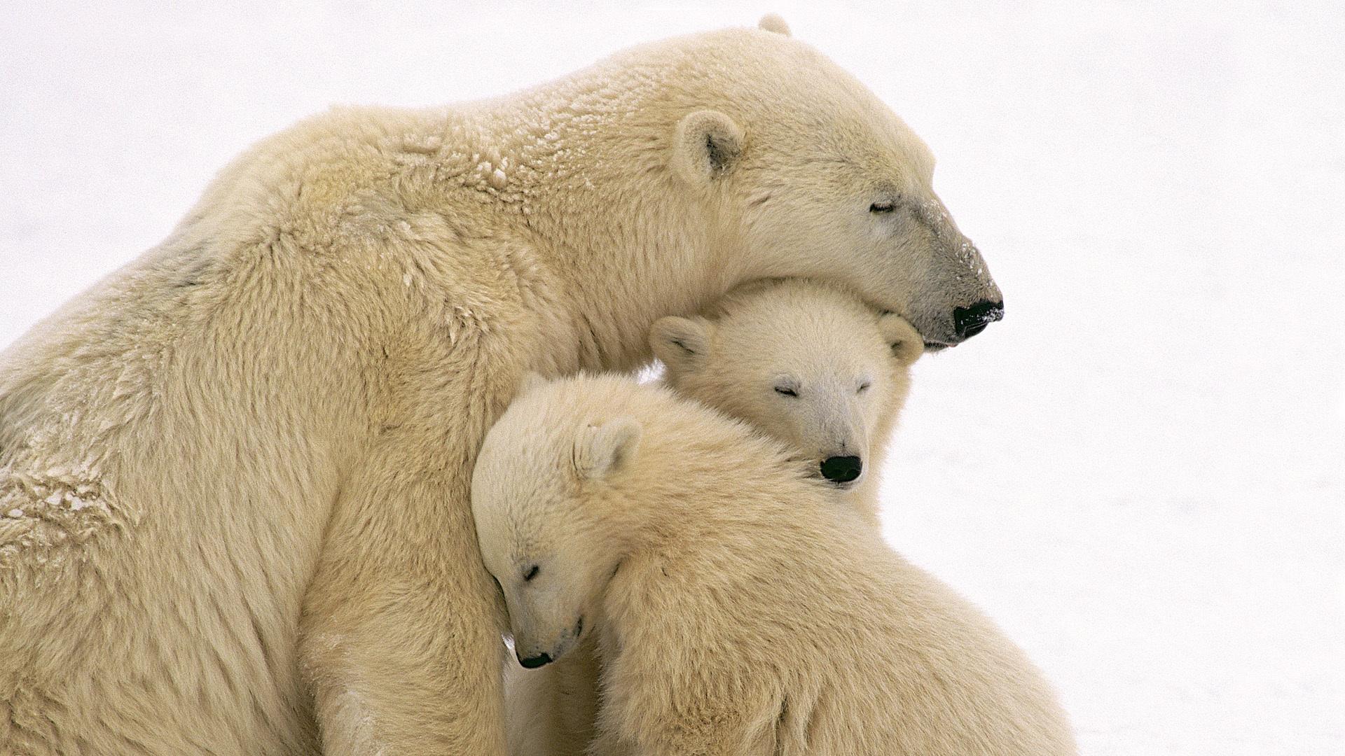 oso,osos,polar,polares,nieve,frío,amor,familia