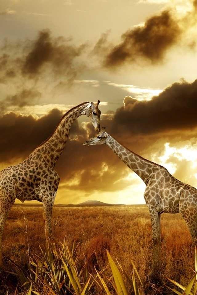 jirafas,beso,amor,familia,fondo,amarillo,