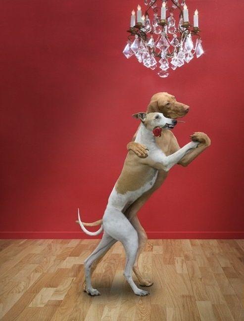 rojo,perro,perra,rosa,lámpara,suelo de madera,bailar,tango,pareja