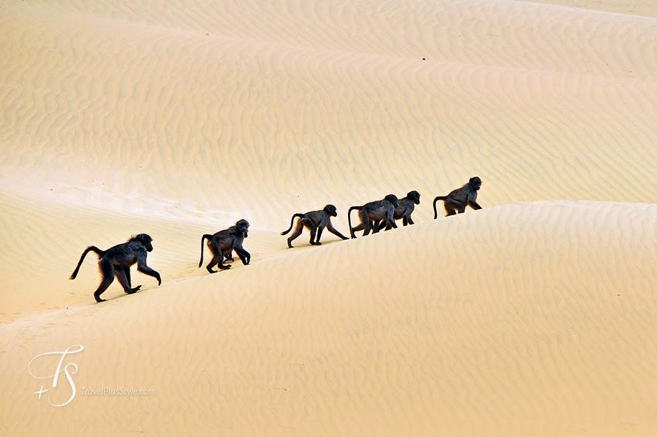 gorilas,caminar,fila,negro,desierto