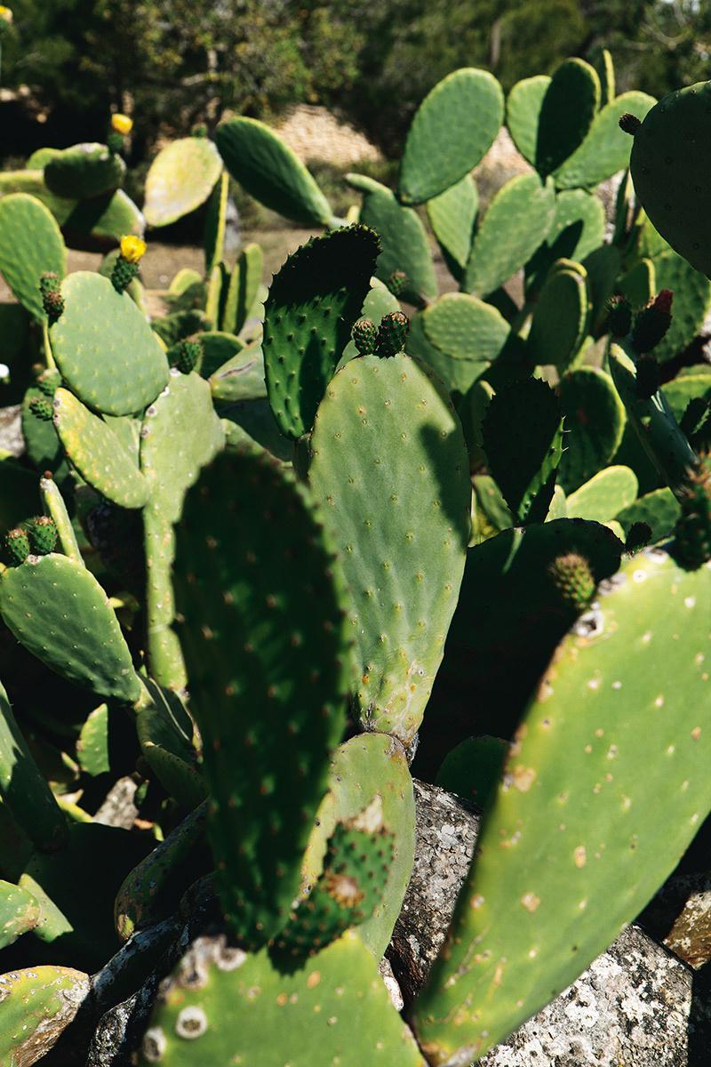 cactus,verde